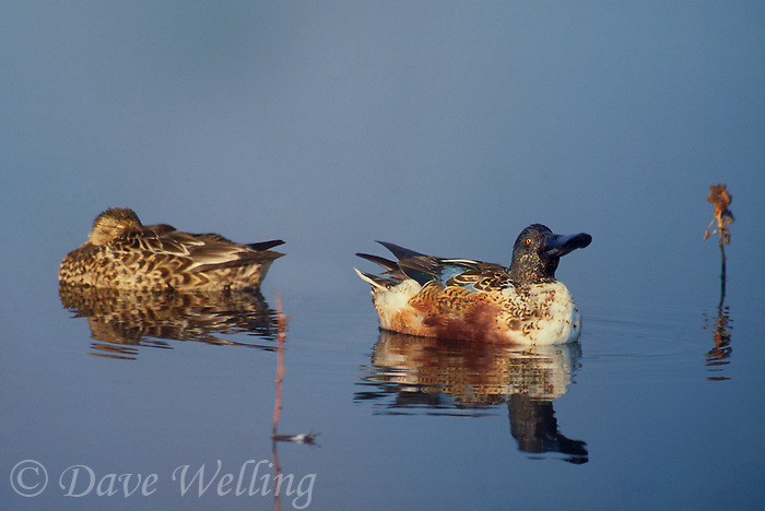 578383093 wild male and female northern shoverlers anas clypeata rest in a small pond at sacramento national wildlife refuge california