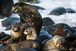 Northern fur seals, Pribilof Islands, Alaska