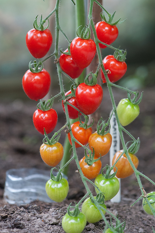 Tomato 'Tomatoberry', late August.