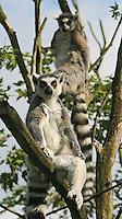 Germany, DEU, Muenster, 2004-Sep-15: Two ring-tailed lemurs (lemur catta) sitting on a tree in the Muenster zoo.