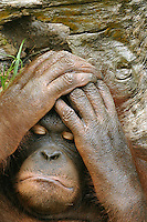 Malaysia Orangutan