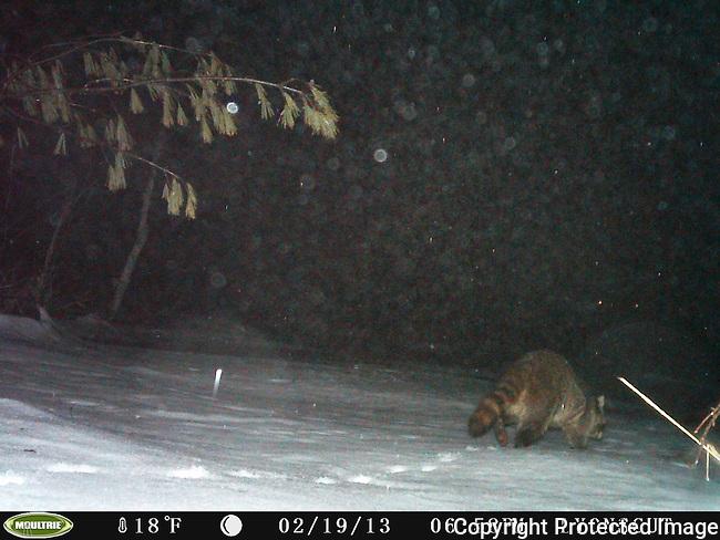 Raccoon looking for food along frozen Allowance Brook, Lyons-Cutler Property, Sudbury, MA