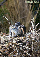 0318-1004  Great Cormorant (White-necked Cormorant) Sitting on Nest, Phalacrocorax carbo lucidus  © David Kuhn/Dwight Kuhn Photography.