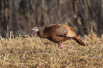 Female wild turkey in a northern Wisconsin field.
