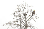 Yellowstone National Park, Wyoming: Bald eagle  (Haliaeetus leucocephalus) in larch tree; winter