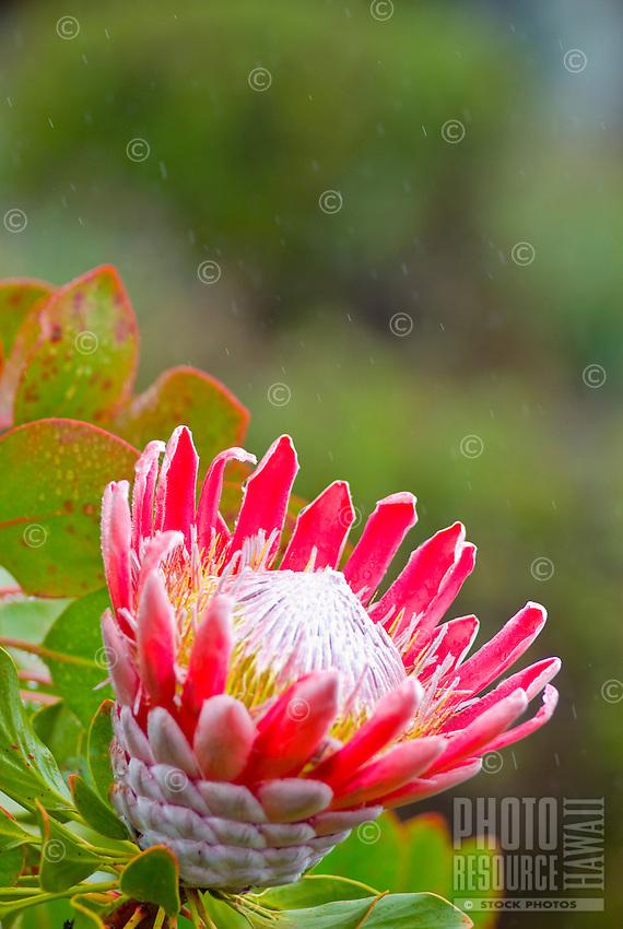 King protea (protea cynaroides) growing at Alii Kula lavender farm at the base of Haleakala, Kula