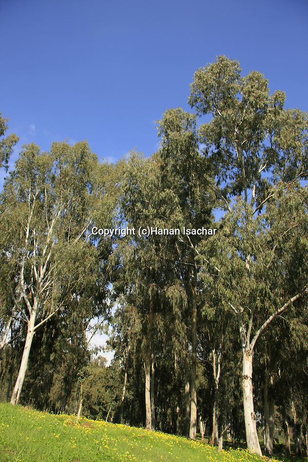 Israel, Sharon region. Eucalyptus trees at Hayarkon National Park