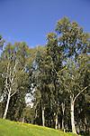 Israel, Sharon region. Eucalyptus trees at Hayarkon National Park