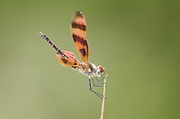 379050002 a wild male halloween pennant dragonfly celithemis eponina on a small stick anahuac national wildlife refuge chambers county texas