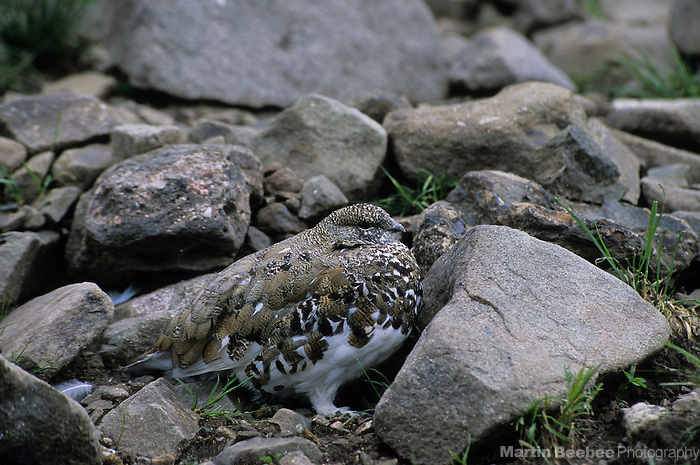 White-tailed Ptarmigan (Lagopus leucurus), Sangre de Cristo Wilderness, San Isabel National Forest, Colorado