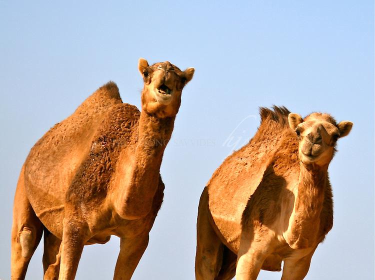 Wild camels, Qatar   Jan 10