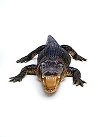 Full body shot of ALLIGATOR in - studio shot