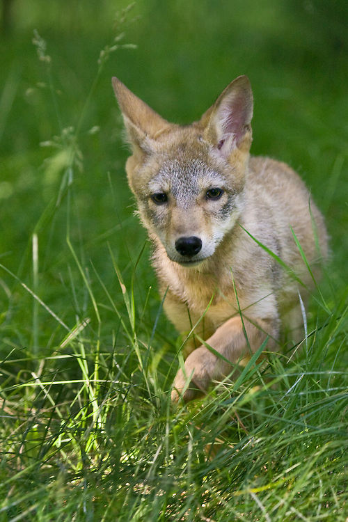 Young Coyote trotting through some tall grass - CA