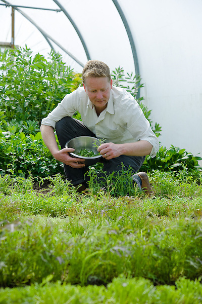 Mark Diacono harvesting salad growing in  Polytunnels