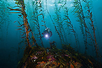 RS0410-D. a scuba diver (model released) swims through a kelp forest on the Tasman Peninsula, southeast Tasmania. Forests of giant kelp (Macrocystis pyrifera) once thrived all along the east coast, but warming water temperatures and an outbreak in sea urchins have caused a loss of many of the forests. Tasmania, Australia, Pacific Ocean.<br /> Photo Copyright &copy; Brandon Cole. All rights reserved worldwide.  www.brandoncole.com