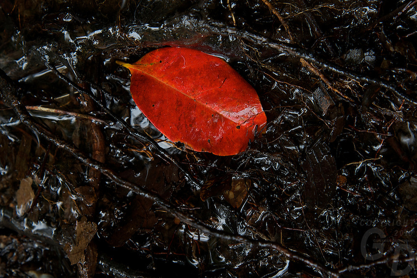 """A colorful red leaf at Phnom Kulen, """"Elephant Park"""" and Bat Caves, Cambodia"""