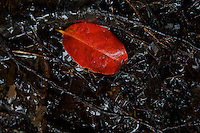 "A colorful red leaf at Phnom Kulen, ""Elephant Park"" and Bat Caves, Cambodia"