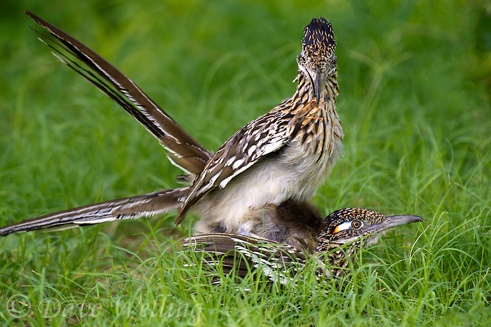 576010053 a wild pair of  greater roadrunners geococcyx califonianus in mating position with the male holding a grasshopper as a food offering on laguna seca ranch in hidalgo county texas united states