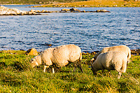 Norway, Rennesøy. Sheep on Klosterøy Island.