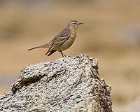 American Pipit, Anthus rubescens, location Summit Lake on Mount Evans. Color is the lighter Rocky Mountain morph.  .