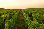 Grape Vines in Burgundy Region, Cote d'Or