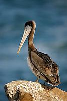 Brown Pelican - Pelecanus occidentalis - Juvenile