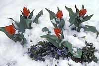 Tulip, Praestans fusilier, and Vinca minor blooming in late snow cover