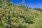 Apple picking time at the Lakeview Orchard in Alfred, Maine, USA