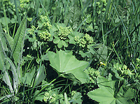 LADY'S-MANTLE Alchemilla vulgaris agg. (Rosaceae) Height to 30cm. Grassland perennial. Aggregate of several native species, and the familiar herbaceous border ornamental A.mollis. FLOWERS are yellowish green and borne in flat-topped clusters (May-Sep). FRUITS are dry and papery. LEAVES are rounded and palmately lobed; leaf shape variation used to separate aggregated species.