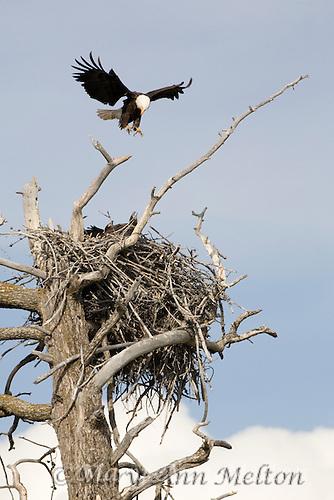 Bald eagle, Haliaeetus leucocephalus, Yellowstone National Park, Wyoming