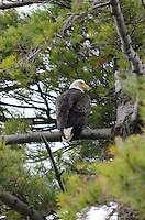 A beautiful bald eagle perched in a pine tree along the Lake Michigan shoreline. Michigan's Upper Peninsula