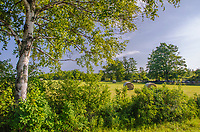 Hay bales sit in a pasture framed by a Birch tree on it's edge, Door County, Wisconsin