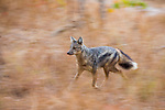 Side-striped Jackal (Canis adustus) running, Kafue National Park, Zambia