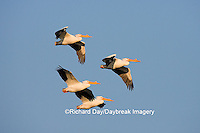 00671-01002 American White Pelicans (Pelecanus erythrorhynchos) in flight  Riverlands Environmental Demonstration Area,  MO