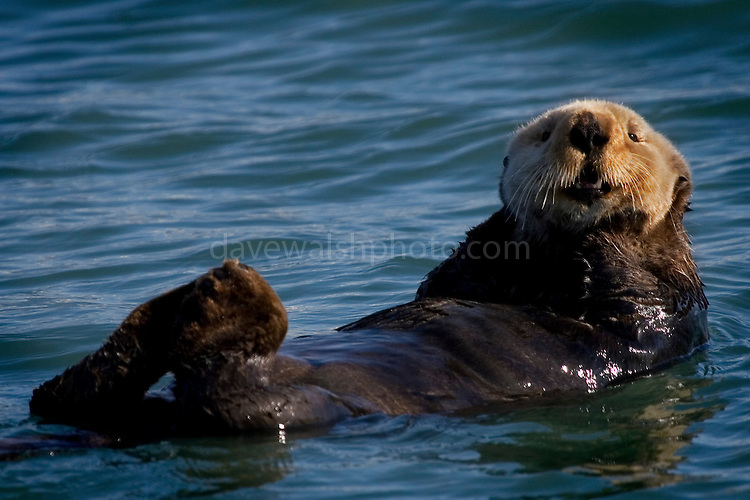 Sea otter, bobbing about on the sea near Seward, Alaska. Sea otters have incredibly dense fur - about 1 million hairs per square inch.