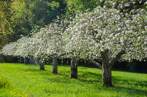 Rows of blooming apple trees in orchard, Hansel's orchard North Yarmouth Maine, USA