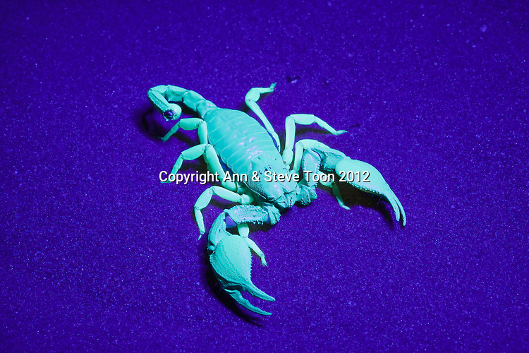Opistophthalmus carinatus, African yellow leg scorpion, under UV light, Tswalu Kalahari game reserve, Northern Cape, South Africa