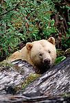 Kermodei bear, white phase of black bear, British Columbia, Canada