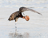 Adult reddish egret taking time out for a little preening