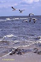 1Y47-054x  Horseshoe Crab - laughing gull flying above beach, eating horseshoe crab eggs - Limulus polyphemus