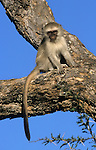 Vervet monkey, Cercopithecus aethiops, young, Kruger National Park, South Africa