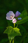 Flowers of the Wild Hollyhock in Montana