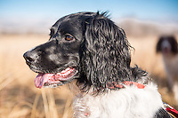 Lilly Lu, an English Springer Spaniel, waits her turn during a Hunting Retreiver Club retriever hunt test at Missouri Headwaters State Park in Three Forks.