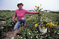 Ile D'Orleans, Quebec City Area, Canada, June 8, 1984. Getting rid of the weed in a strawberry field.