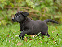 Black Labrador retriever puppy running in a Wisconsin backyard.