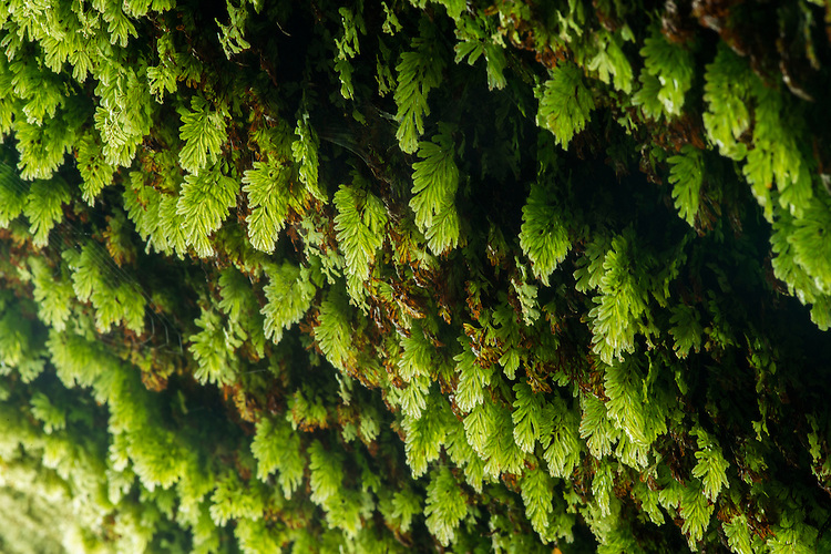 Tunbridge filmy fern, Hymenophyllum tunbrigense, an incredibly delicate and rare fern whose leaves are only one cell thick. Wakehurst Place - Royal Botanic Gardens, Kew. Ardingly, West Sussex, UK.