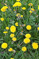 Dandelions, Taraxacum officinale, in meadow, Gloucestershire, UK