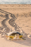 flatback sea turtle, Natator depressus, aka Australian flatback sea turtle, female, climbing beach in order to nest, leaving tractor-like tracks behind her, Crab Island, Cape York Peninsula, Torres Strait, Queensland, Australia
