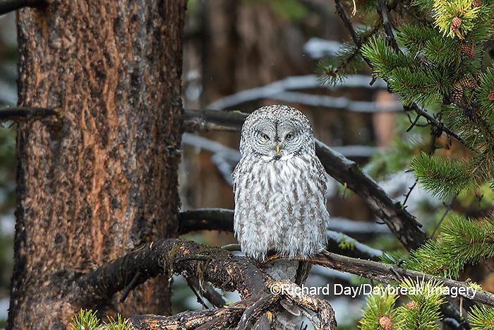 01128-00208 Great Gray Owl (Strix nebulosa) Yellowstone National Park, WY