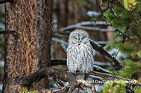 01128-00208 Great Gray Owl (Strix nebulosa) Yellowstone National Park, WY